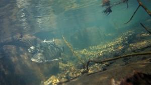 Coho salmon underwater. Photo courtesy of NOAA Fisheries.