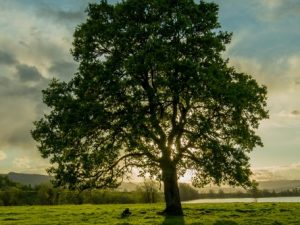 Protecting Oregon's Oaks