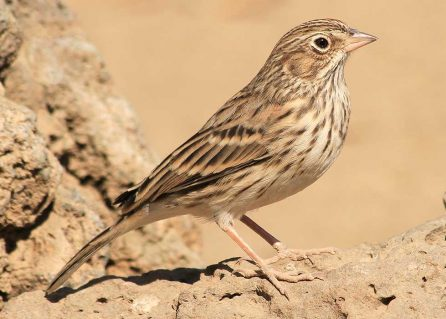Oregon vesper sparrow, oak conservation