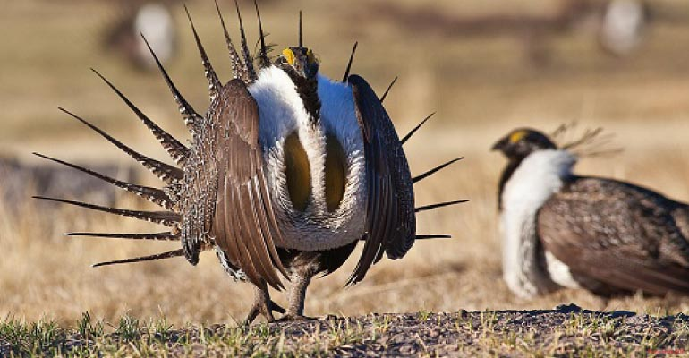 Greater sage-grouse, an iconic Western bird,. Photo: Bureau of Land Management