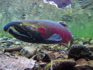 Restoring Fish Passage