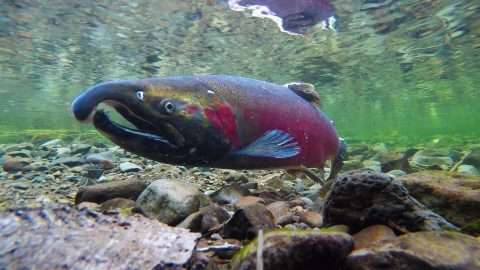 coho spawning on salmon river BLM, fish passage
