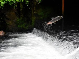 Supreme Court Says Tribal Treaty Rights Require Salmon Passage to Sea