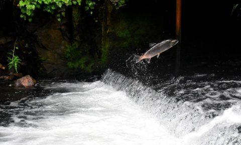 salmon migrating